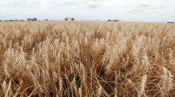 Produção de trigo no Rio Grande do Sul pode superar 3,7 mi t em 2021, diz FecoAgro