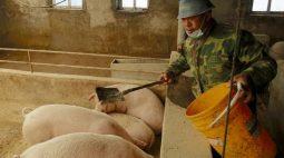 China aprova importação de suínos reprodutores da Irlanda