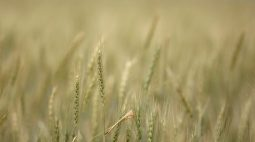 Clima seco ameaça grãos de inverno na Ucrânia e na Rússia