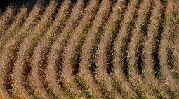 Preços do milho têm rali em Chicago; impulsionam soja e trigo