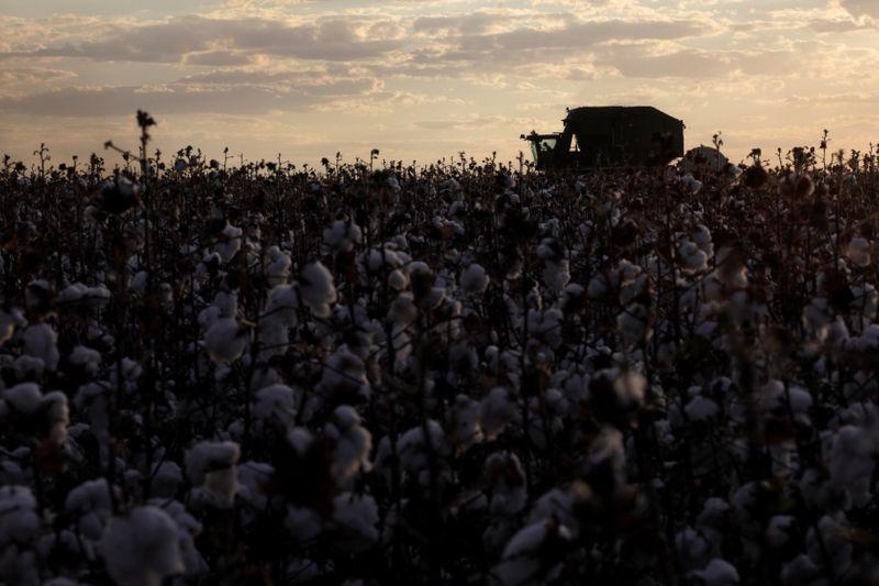 Bom Futuro vê rendimento de algodão acima da média em MT; elevará áreas em 21/22