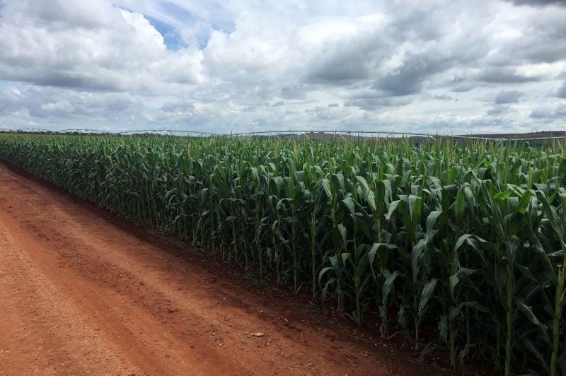 Conab reduz previsão de estoques de milho do Brasil; vê safra recorde de trigo