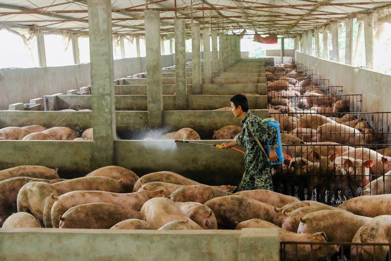 Peste suína ressurge e afeta pequenas criações em Sichuan, na China