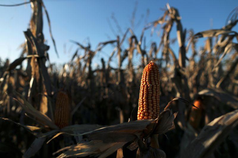 Argentina suspende exportações de milho até 1º de março para garantir oferta doméstica