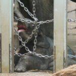 Zoológico de Tóquio apresenta 1º elefante nascido no local em 138 anos