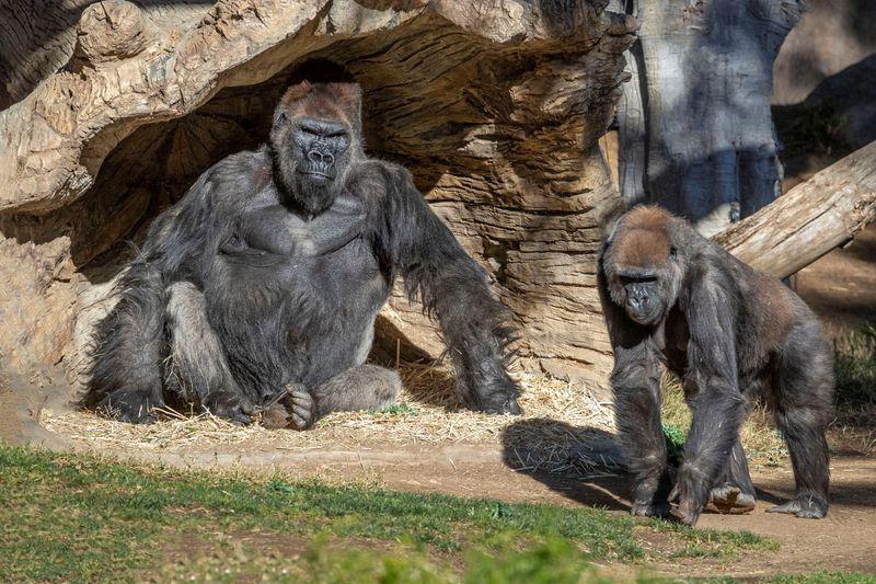 Dois gorilas do zoológico de San Diego testam positivo para Covid-19