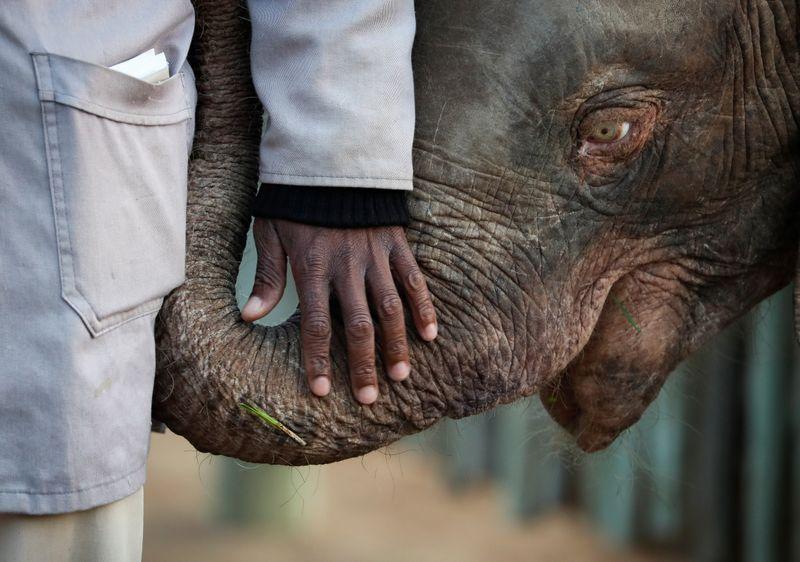 Elefanta albina da África do Sul supera obstáculos e se adapta a manada
