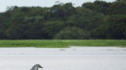 Tucuxis do Rio Amazonas correm risco de extinção, alertam ambientalistas