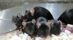 Pesquisa pioneira de reprodução no espaço gera filhotes de rato saudáveis
